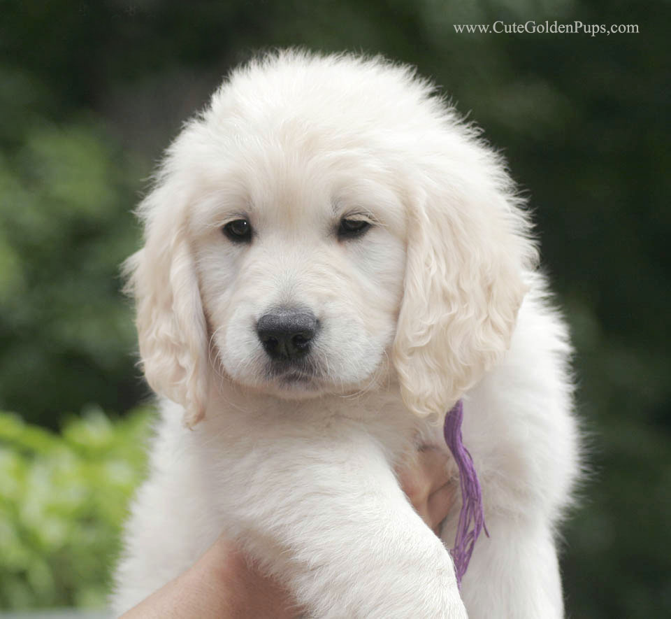 Cute Light Golden Retriever Our search for ...