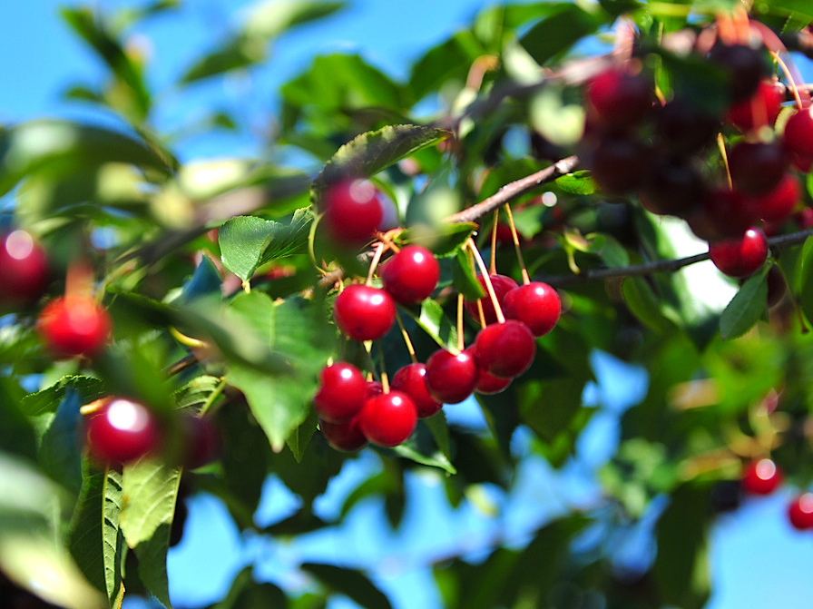 Door County - Cherries