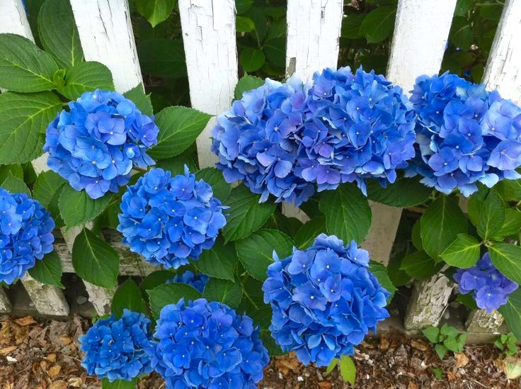 Blue Hydrangeas By White Picket Fence