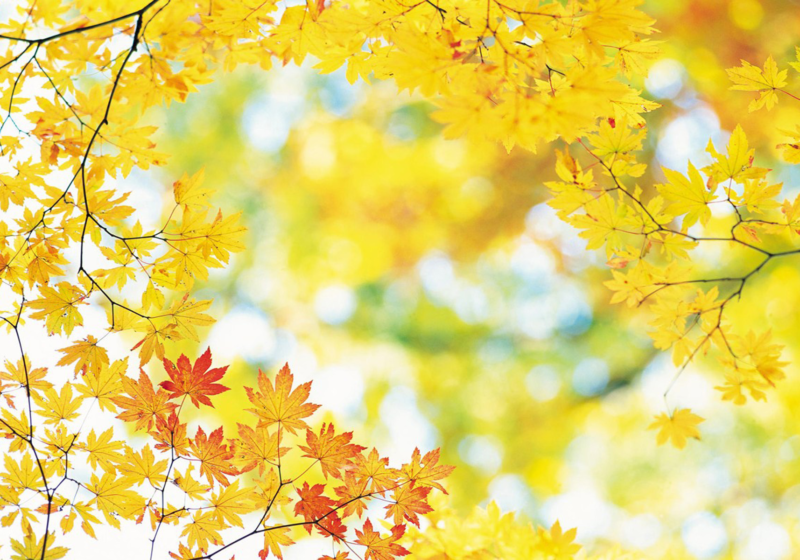 Yellow_Fall_Leaves